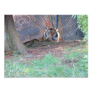 Tigre de Sumatran Fotografía