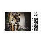 Tigre de Sumatran Franqueo