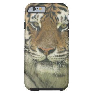 Tigre de Sumatran Funda De iPhone 6 Tough