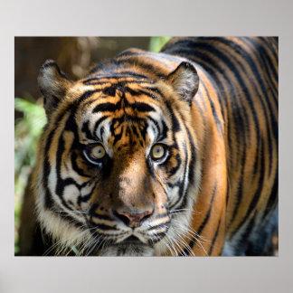 Tigre de Sumatran Poster