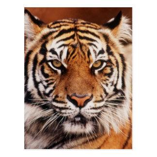 Tigre de Sumatran, Panthera el Tigris Postales