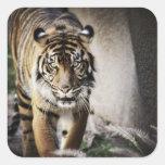 Tigre de Sumatran Pegatinas Cuadradases