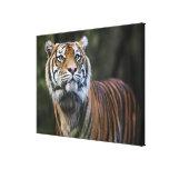 Tigre de Sumatran (sumatrae del Tigris del Panther Lona Envuelta Para Galerias