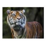 Tigre de Sumatran (sumatrae del Tigris del Panther Postales