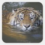Tigre de Sumatran, sumatrae del Tigris del Pegatina Cuadrada
