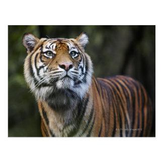 Tigre de Sumatran (sumatrae del Tigris del Postales