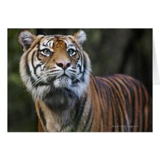 Tigre de Sumatran (sumatrae del Tigris del Tarjeta De Felicitación
