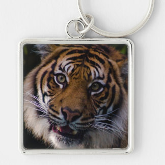Tigre de vagabundeo de Sumatran Llavero Personalizado