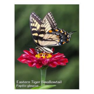 Tigre del este Swallowtail Postal