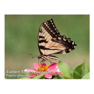 Tigre del este Swallowtail Postales