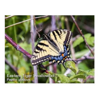 Tigre del este Swallowtail Tarjeta Postal