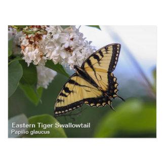 Tigre del este Swallowtail Tarjetas Postales