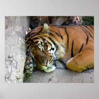 Tigre dormido póster