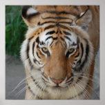 Tigre dulce impresiones