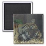 ¿Tigre el dormir? Imán Para Frigorifico