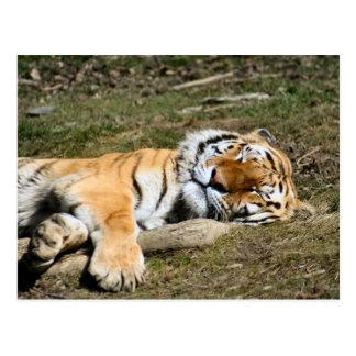 Tigre el dormir tarjetas postales