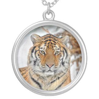 Tigre en collar de la nieve