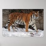 Tigre en invierno impresiones