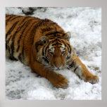 Tigre en la nieve posters