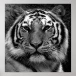 Tigre en negro y blanco posters