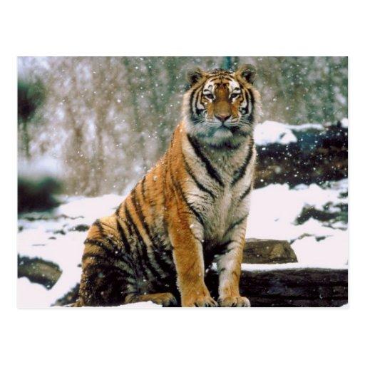 Tigre en nieve tarjetas postales