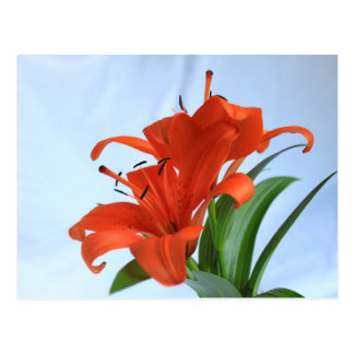 Tigre gemelo Lillies en postal colorida de la flor