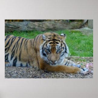Tigre hipnótico póster