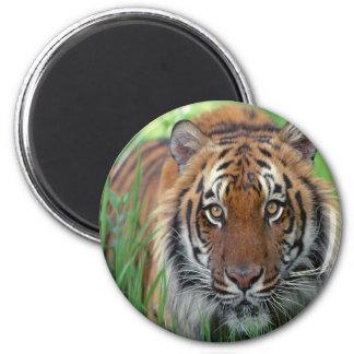 Tigre Imán Para Frigorifico