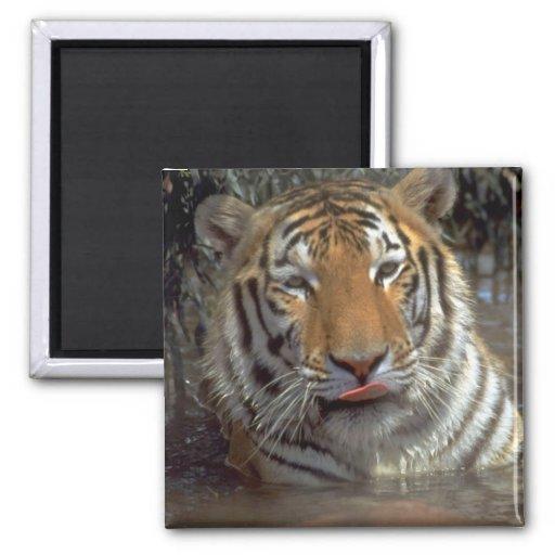 Tigre Imán Cuadrado