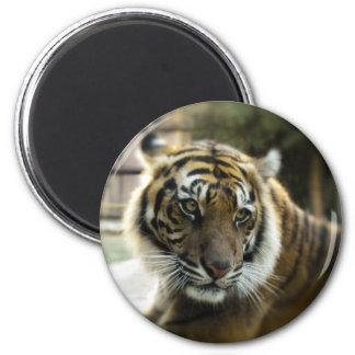 Tigre Imán Redondo 5 Cm