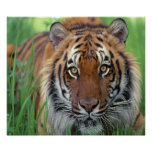 Tigre Impresiones