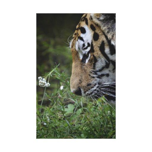 Tigre Lienzo Envuelto Para Galerias