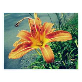 """Tigre Lilly "" Póster"