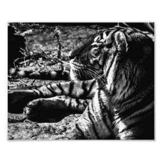 Tigre malayo que asolea - impresión de la foto fotografía
