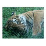 Tigre malayo tarjeta postal