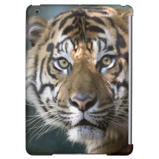 Tigre masculino de Sumatran (sumatrae del Tigris d