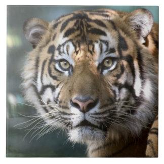 Tigre masculino de Sumatran (sumatrae del Tigris d Azulejo Cuadrado Grande