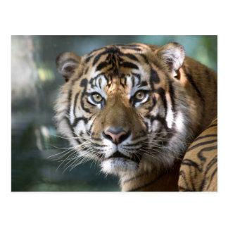 Tigre masculino de Sumatran (sumatrae del Tigris d Tarjetas Postales