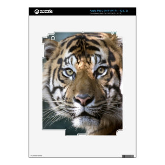 Tigre masculino de Sumatran (sumatrae del Tigris iPad 3 Skins