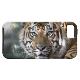 Tigre masculino de Sumatran (sumatrae del Tigris iPhone 5 Funda