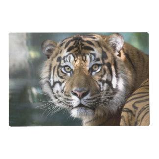 Tigre masculino de Sumatran (sumatrae del Tigris