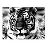 Tigre negro y blanco postal