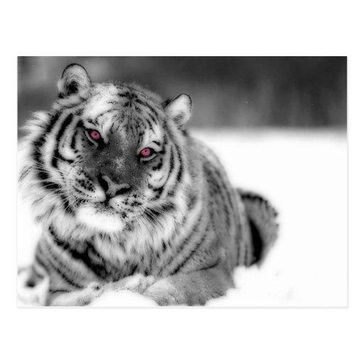 Tigre observado rosa tarjeta postal