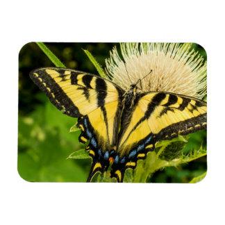 Tigre occidental Swallowtail en un cardo Iman Rectangular