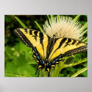Tigre occidental Swallowtail en un cardo Póster