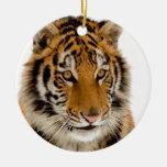 Tigre Ornato