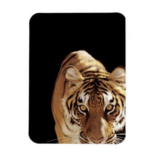 Tigre (Panthera el Tigris) Imanes Rectangulares
