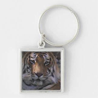Tigre (Panthera el Tigris), primer de la cabeza, Llavero Personalizado