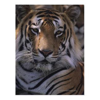 Tigre (Panthera el Tigris), primer de la cabeza, Postal