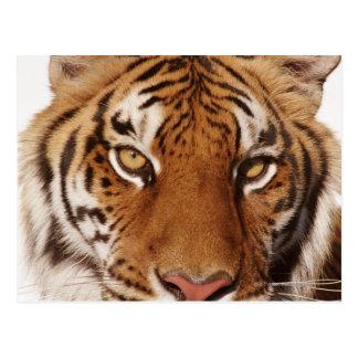 Tigre (Panthera el Tigris), primer Tarjeta Postal